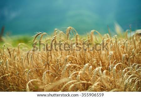 blue sky and golden yellow wheat spiklets field horizontal landscape. - stock photo