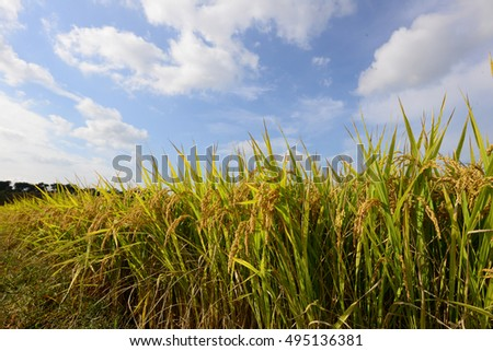 Blue sky and ripening rice.