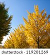 blue sky and the ginkgo tree-lined - stock photo