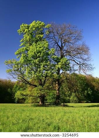blue sky and tree-oak - stock photo