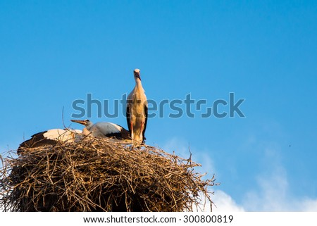 Blue sky backgrund with young white storks at the nest  - stock photo