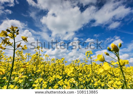 Blue sky over a canola field - stock photo