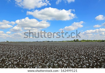 Blue sky over cotton field - stock photo