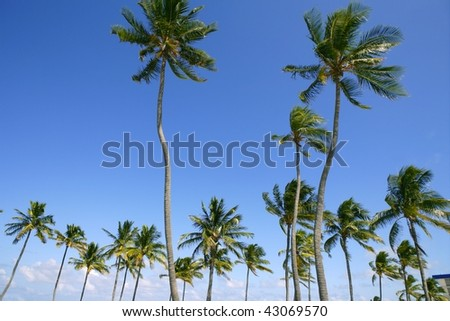 Blue sky palm trees in Florida tropical summer - stock photo