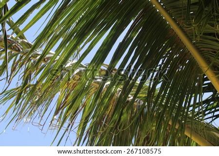 Blue Sky through Palm Leaves - stock photo