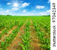 Blue sky with sun and young corn field. - stock photo