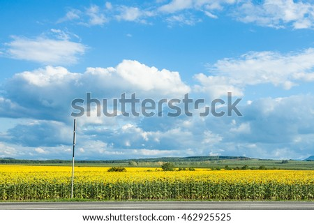 blue sky with white clouds over yellow sunflower field in sunny summer day, Kuban, Russia