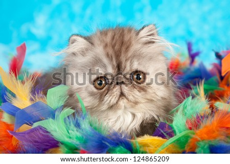 Blue Smoke Persian kitten hiding in colorful feather boa on blue fake faux fur background - stock photo