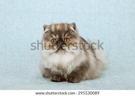Blue smoke tortie Persian cat kitten lying down on blue background - stock photo