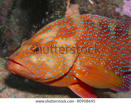 blue-spotted grouper Cephalopholis miniata - stock photo