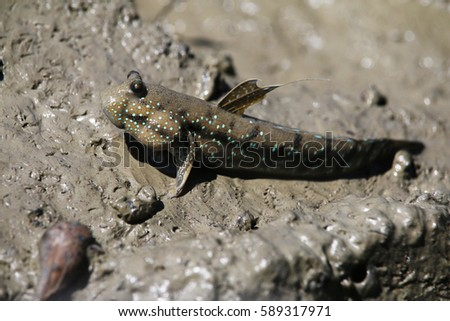 Blue spotted mudskipper (Boleophthalmus boddarti), a common animal found at mudflats of Southeast Asia.
