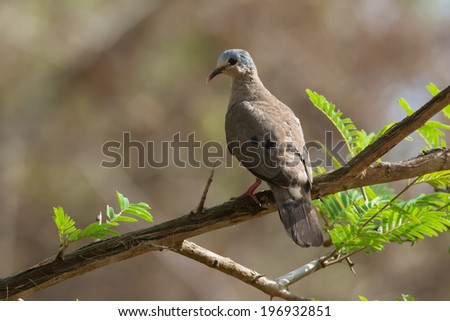 Blue-spotted Wood Dove (Turtur afer) perched on a branch - stock photo