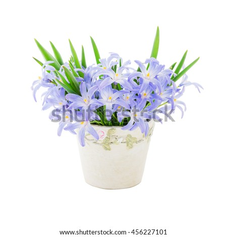 Blue spring flowers in small vase isolated over white background