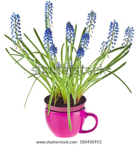 Blue Spring flowers Muscari in clay flowerpot Isolated on white background  - stock photo