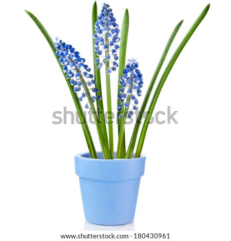 Blue Spring Grape muscari hyacinth  in clay flowerpot Isolated on white background  - stock photo