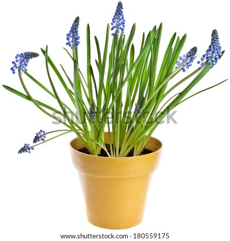Blue Spring Grape muscari hyacinth in flowerpot Isolated on white background  - stock photo