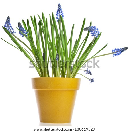 Blue Spring Grape muscari hyacinth in yellow flowerpot Isolated on white background  - stock photo