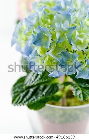 blue spring hydrangea - close up - stock photo