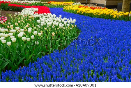 Blue spring  of fresh flowers  in holland garden Keukenhof, Netherlands - stock photo