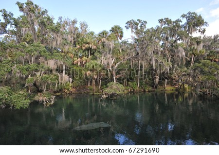 Blue Spring State Park, Florida, Manatee - stock photo