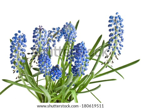 Blue Springs flowers Muscari Isolated on white background  - stock photo