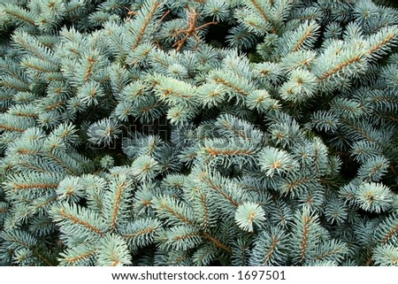 Blue Spruce - stock photo