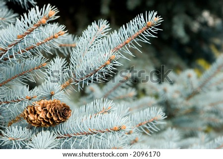 Blue spruce fronds reach outward suggesting striving or reaching out for something or someone.  Also could be used for background for cards, invitations, stationary. - stock photo