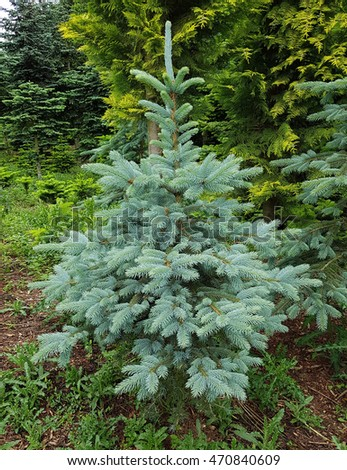 Blue spruce; Picea; pungens