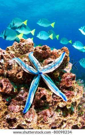 Blue starfish on the reef - stock photo
