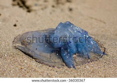 Blue stinging jellyfish washed up at sand beach