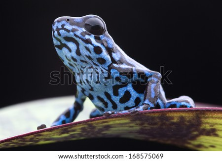 Blue strawberry poison dart frog, Dendrobates pumilio Colubre from the tropical rain forest of Panama. A beautiful small rainforest animal sitting on a leaf. Poisonous amphibian of the jungle.  - stock photo