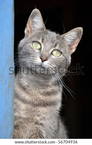 Blue tabby cat at the door of a blue barn - stock photo