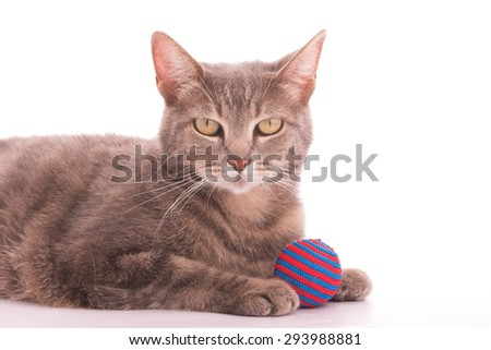 Blue tabby cat with a red and blue striped ball, on white
