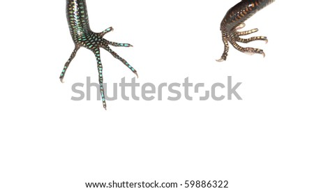 blue tail skink lizard claw isolated on white background - stock photo