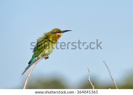 Blue-tailed Bee-eater  having bad hair day - stock photo