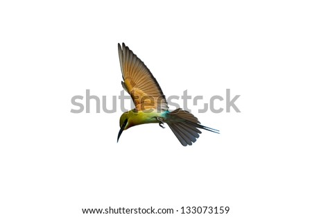 Blue-tailed Bee-eater isolated on white background
