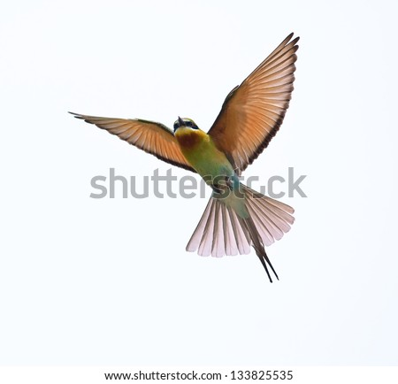 Blue-tailed Bee-eater isolated on white background - stock photo