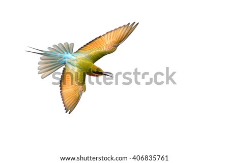 Blue-Tailed Bee Eater (Merops philippensis) bird flying on white background. - stock photo