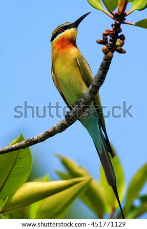 Blue-tailed Bee-eater Merops philippinus perching on twig, green and blue background, near to Yala National Park, Sri Lanka. Beautiful bird in the nature tree branch habitat. Wildlife scene from Asia. - stock photo