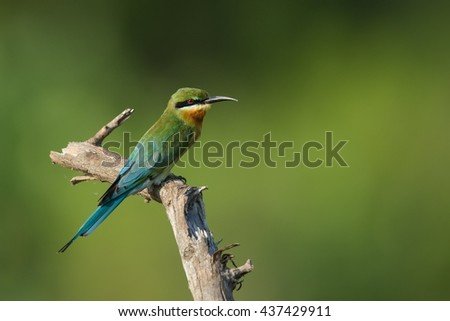 Blue-tailed Bee-eater sitting on a branch on blurred background. Merops philiphinus.