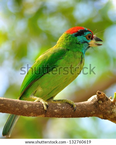 Blue-throated Barbet, Birds in Thailand