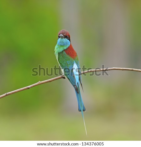 Blue-throated Bee-eater (Merops viridis), standing on a branch, back profile