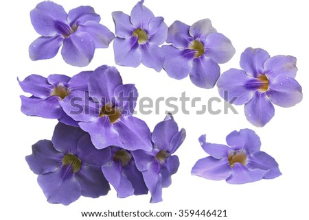 Blue Thunbergia grandiflora Flowers isolated on white background