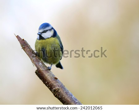 blue tit - stock photo
