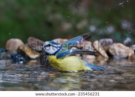 Blue tit bathing - stock photo