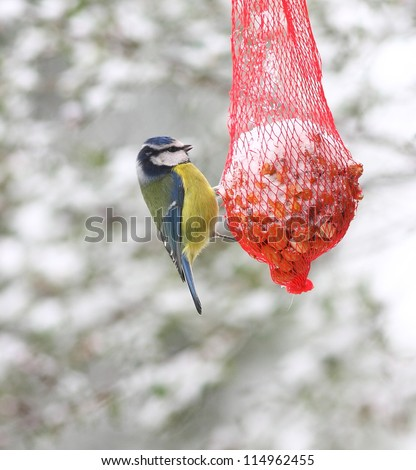 Blue tit bird feeding on a red net peanut feeder, in the snow at winter time. Latin name Cyanistes caeruleus. - stock photo