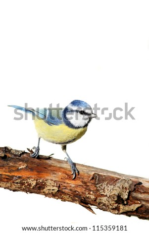 blue tit bird on a branch, against white - stock photo