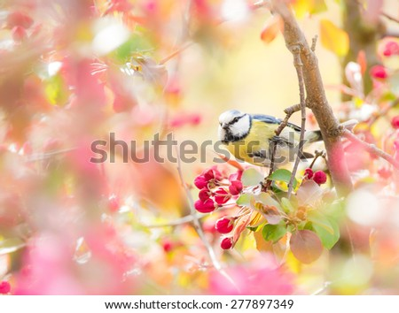Blue tit bird sitting between the blossoms of a pink flowering apple tree - stock photo