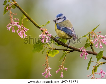 Blue tit (Cyanistes caeruleus) on a branch with pink flowers on a beautiful day in may. It is a widespread and a common resident breeder throughout temperate and subarctic Europe and western Asia - stock photo