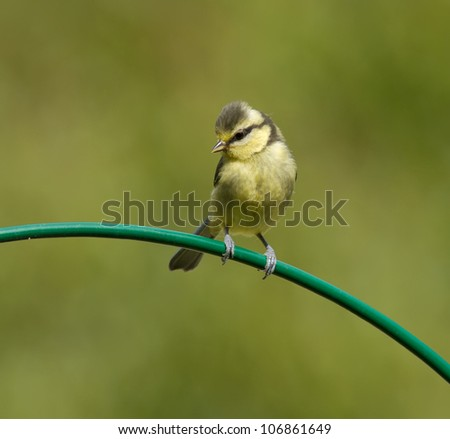 Blue Tit, Cyanistes caeruleus on a curved perch. - stock photo